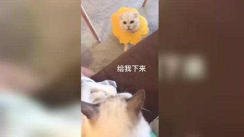 """嫉妒使猫疯狂,猫咪受不了铲屎官当众给它""""戴绿帽"""""""