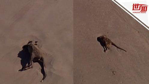 心碎!澳洲山火绵延不绝 数十头袋鼠为避难溺毙在沙滩