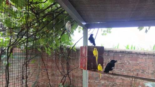 四平米的飞行鸟笼放养5只虎皮鹦鹉,3只八哥鸟,和谐共处真好!