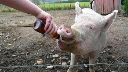 喂猪喝十瓶白酒会怎么样?感觉猪生到达了巅峰!看完忍住别笑!