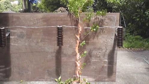 当小树苗遭受22000伏特的高压电,下一幕简直触目惊心!