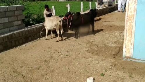 这牛是什么品种?长得矮小却健硕,看上去好可爱啊!
