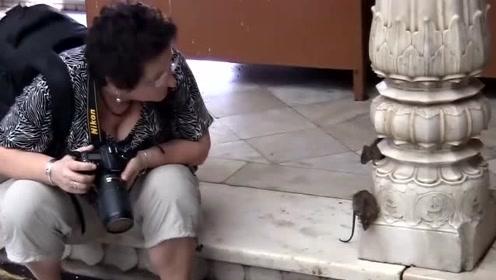 印度的西北地区是什么样子?这里的老鼠一点也不害怕人类