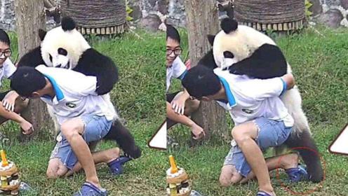 """饲养员抬着竹笋被熊猫""""打劫"""",钻桶里撒泼打滚,场面一片混乱"""