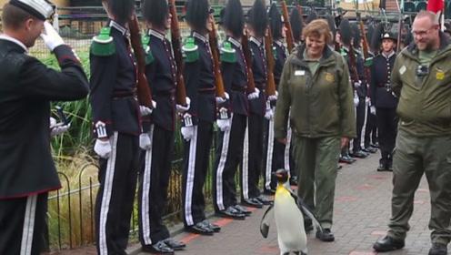 """世界最牛企鹅,""""准将""""军衔官兵见了都敬礼,活到三世依旧滋润!"""