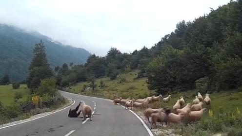 山羊发怒后有多危险?直接将人撞翻在地,隔着屏幕都感觉到痛