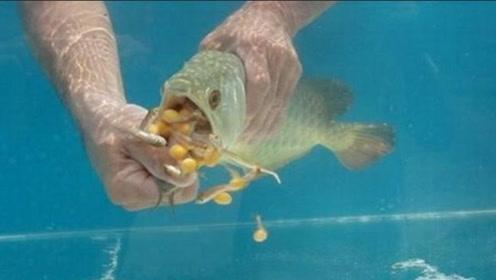 """男子高价买条金龙鱼,却发现它不愿张嘴""""怪癖"""",掰开后发财了!"""