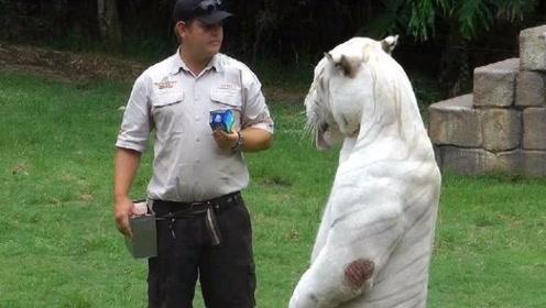 饲养员拿牛奶诱惑白虎,不料镜头拍下不可思议一幕!