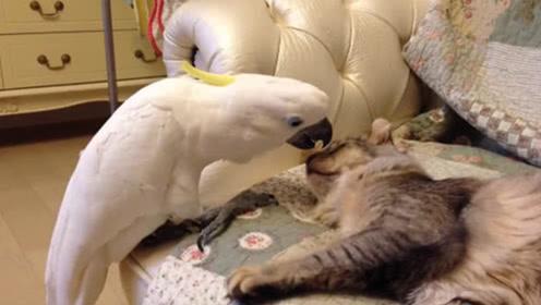 鹦鹉去撩正在睡觉的猫咪,下一秒请憋住不要笑,镜头记录搞笑过程