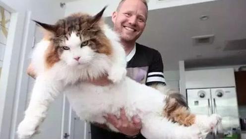 猫咪丢失一年多,原来是在猫粮工厂偷吃,找回时体重高达30斤!