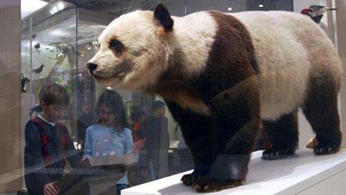 大熊猫真不愧是国宝,即使死亡后,尸体的处理都与众不同