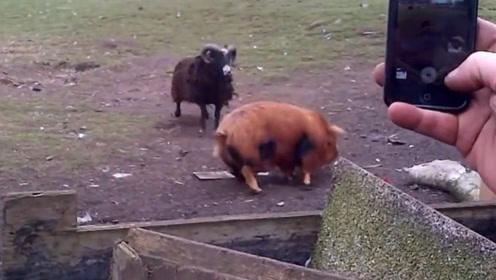 小猪正在遛弯,不料被山羊盯上,猛然袭击把二师兄撞得怀疑猪生