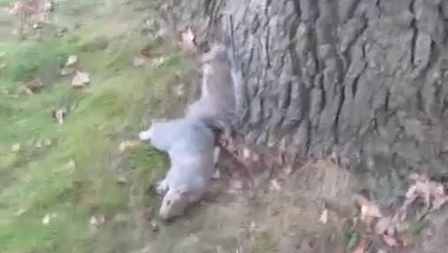 一只偷喝了酒的松鼠,和大树较上了劲儿,松鼠:你能不晃吗?