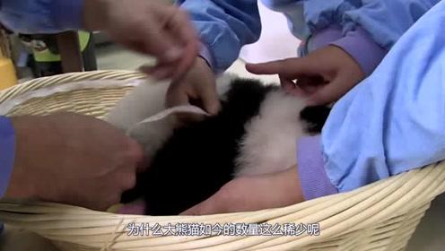 大熊猫没有天敌,为何数量还会这么少?饲养员:都是它们自己作的