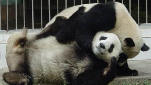 """熊猫把兄弟当肉垫,一招""""泰山压顶"""",谁料国宝被压成""""松狮"""""""