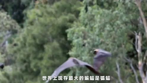 世界最大蝙蝠,两翼长达1.5米,遭多个国家扑杀,加速狐蝠消亡