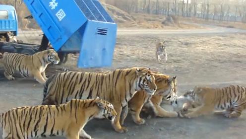 中国东北虎饲养基地,采用活体投喂方式,场面十分惨烈!