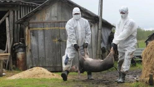 非洲猪瘟不传染人,为什么还要扑杀感染病毒的生猪?看完涨知识了
