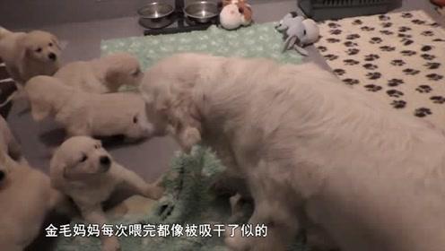 金毛产下7只小崽,每次喂奶都一脸绝望,金毛爸爸这个举动太暖心