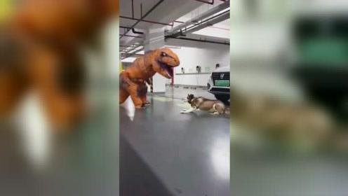 扮恐龙吓狗!萨摩耶掩耳盗铃的样子太可爱了,狗子们:当狗太难了