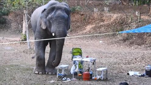 野生大象闯进野餐现场,卷起一瓶烈酒就喝,镜头拍下搞笑一幕