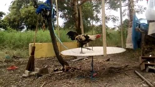 村民给公鸡做的跑步机,一玩就上瘾了
