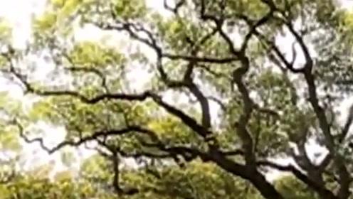 很多外国人不远千里赶来,只为看中国这颗树,全世界仅有这一棵!