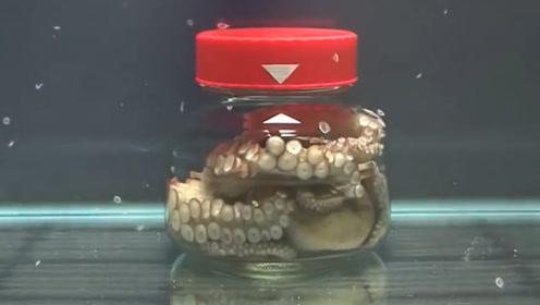 不愧拥有三颗心的动物,被装进在玻璃罐里,竟神奇般逃了出来!