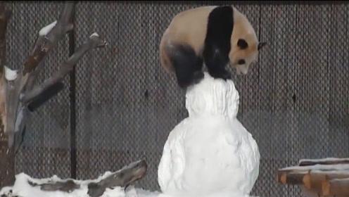 熊猫玩雪人,结果一不小心掰断了雪人脑袋,熊猫:本国宝先跑路了