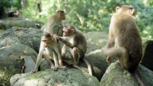 巴拿马的猴子再现诡异行为,研究发现,它们的进化速度在加快