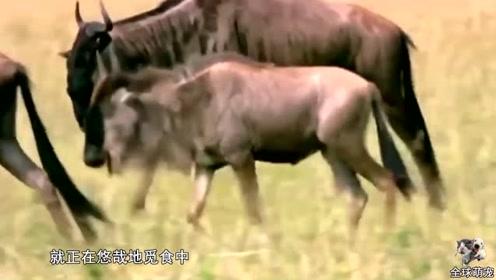 花豹偷袭角马母子,本以逃走的角马,为了孩子再次返回与花豹决斗