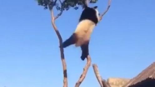 熊猫爬到了树枝上,挂在半空中,网友:非得把自己玩灭绝才甘心吗