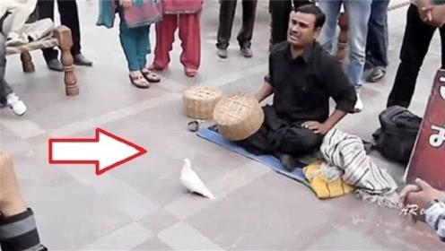 高手在民间,印度街头魔术师秒变鸽子,你能看出其中的奥妙吗?