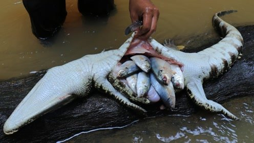 小伙在野外抓了条鳄鱼切开肚子,没想到满满的惊喜,真是一举两得
