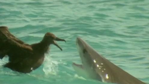 面对鲨鱼这样强悍的敌人,这只小鸟不仅鲨口脱险,还学会了飞行