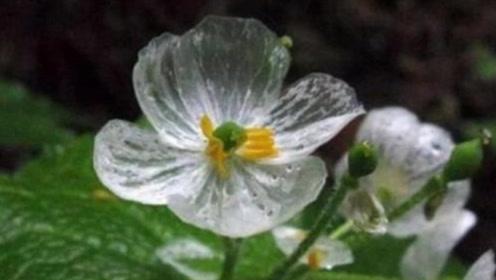 """贵州大山里的""""隐形花"""",遇水花瓣隐形,服用后有奇效"""