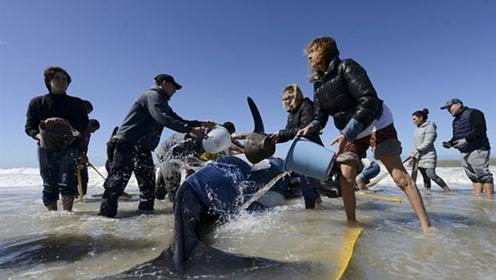 七只虎鲸不幸搁浅海滩 人们齐心协力救回六只