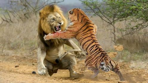 狮子vs老虎,场面激烈,招招致命,镜头记录全过程!
