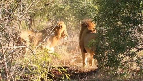 四头雄狮不想和雌狮分享猎物,对它发起攻击,镜头拍下全过程