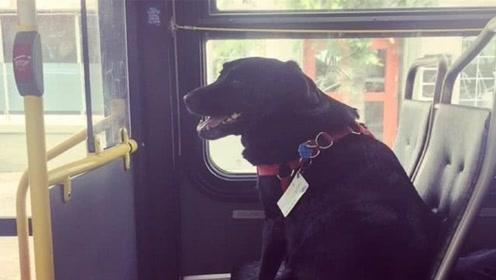 世界上最聪明的狗,会自己坐公交,还会刷公交卡!
