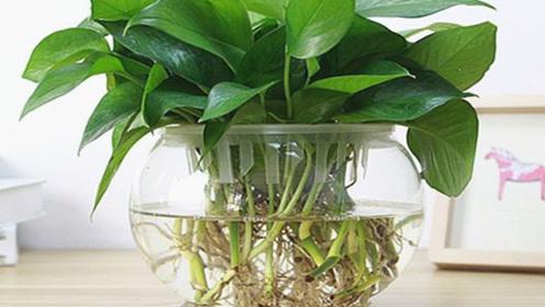 水培绿萝快速生根的秘诀,成活率高,一个月撑爆盆,叶片油绿