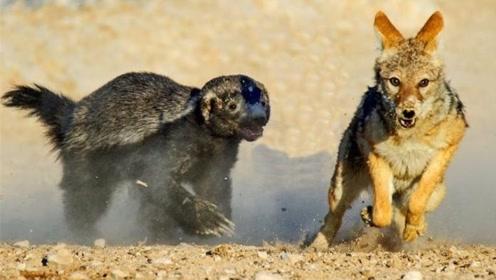 最嚣张的动物,没事爱找猛兽干架,结果成了濒危物种!