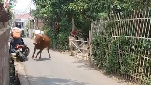 """小伙转角遇到""""爱"""",一头牛冲出牛圈,在村子里横冲直撞!"""