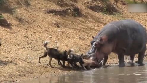 小鹿惨遭野狗群围攻,无奈跑进水中,下一秒更加凄惨