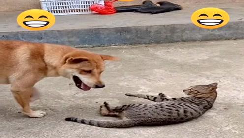 狗狗故意招惹大狸猫,差点被暴揍,网友:还好意思笑!