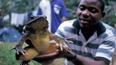 世界上最大的牛蛙 和人差不多高 千万别被中国吃货遇到