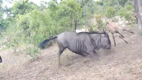 小角马惨遭花豹捕食,母角马想让它站起来,却被网友认为是攻击它