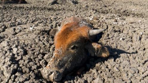 生活非洲有多惨?动物深陷泥潭等待死亡,摄影拍下河流干枯全过程