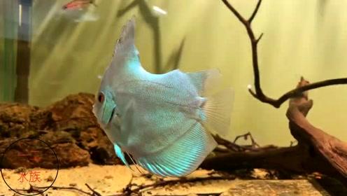 人为制造的伤残观赏鱼,鱼缸这条鱼经历了什么?最美热带鱼变丑了