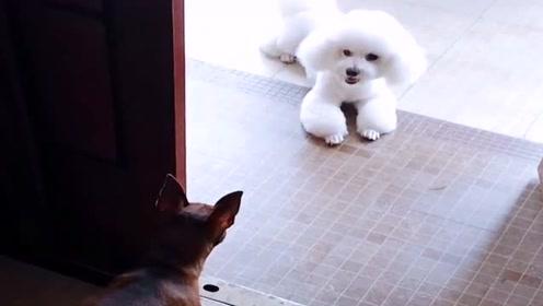 第一次见面,这俩狗都盯了40分钟了,搞不懂!